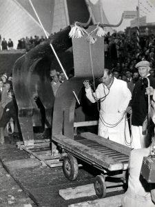 Opdat Cuijkse geen kat in de zak kopen, werd de expostier voor de koop gesloten werd, onderzocht door de Cuijkse veearts, F. Viguurs.